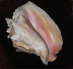 Queen conch           (Strombus gigas)  Dominican Republic