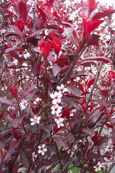 Sand Cherry Bush: Prized for its masses of light pink flowers and deep purple foliage. Small black fruit follows flowers. A beautiful accent plant either as a multi-trunked or single trunked specimen. Deciduous.