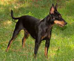 Toy Manchester Terrier is what my min pin actually was. My dear old dog.  Had her for  15 years. She passed away in August of 2014.  Her tail had already been cropped but her very crooked ears had not.  Love her one floppy ear and one straight up ear.  This one has had her ears done.  I guess the word is docked, or is that for the tail.  Glad this one still has its tail.