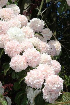 """Viburnum plicatum 'Kern's Pink' - Fragrant Viburnum plicatum """"Japanese snowball bush"""" flowers of a sterille cultlvar."""