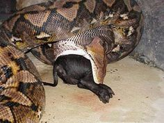 76 best big newby biggest snakes in the world images cutest