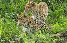 #Leopards @ Mala Mala Game Reserve in #SouthAfrica. See our #MalaMala travel guide: http://www.safaribookings.com/malamala