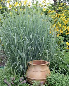 Dig deeper into Switchgrass, the genus Panicum.