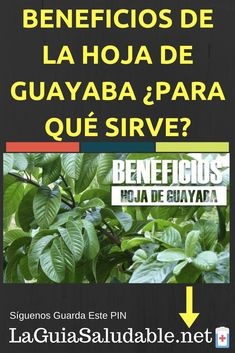 Cuando dices que la guayaba es lo primero que te viene a la mente es la deliciosa fruta, la guayaba, pero las hojas tienen más de qué hablar. ¿Quieres saber los beneficios y usos de las hojas de guayaba? Vamos adelante! Causes Of Diabetes, Home Remedies, Diy And Crafts, Medical, Fruit Benefits, Guava Leaves, Guava Tree, Household Tips, Health Recipes