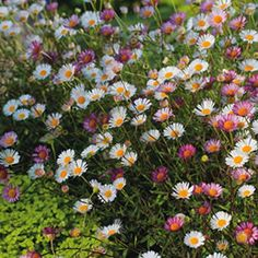 Erigeron karvinskianus A very popular fast growing perennial ground cover. It produces masses of dainty flowers for up to nine months. It is suitable for a full sun to part shade position, is frost tolerant and requires little water once established. Perennial Ground Cover, Ground Cover Plants, Beach Gardens, Outdoor Gardens, Standard Roses, Tall Shrubs, Garden Express, Cottage Garden Plants, Garden Bed