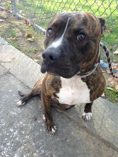 GONE --- TO BE DESTROYED - 11/16/14 Manhattan Center   My name is ROXY. My Animal ID # is A1003223. I am a spayed female bl brindle and white pit bull mix. The shelter thinks I am about 1 YEAR 1 MONTH old.  I came in the shelter as a OWNER SUR on 11/10/2014 from NY 11429, owner surrender reason stated was MOVE2PRIVA.   https://www.facebook.com/photo.php?fbid=904076146271932