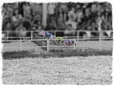 """7/3/15 - The """"All-Alaskan Racing Pigs"""" was the highlight of my day. Those hurdles were only 12 inches high and even though they didn't clear them, it was still too adorable!  — at Alameda County Fair."""