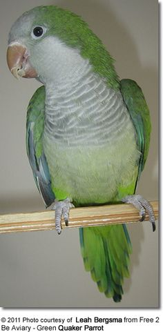 By far one of the most interesting pets I ever owned (Quaker Parrot)
