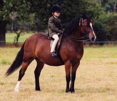 Welsh Pony Section C