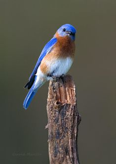 Eastern Bluebird 3 Photograph by Gerald Marella