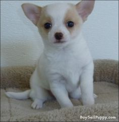 """Receive terrific recommendations on """"yorky puppies"""". They are readily available for you on our website. Teacup Yorkie, Yorkie Puppy, Chihuahua Puppies, Chihuahuas, Cheap Dog Food, Apple Head Chihuahua, High Quality Dog Food, Yorky, Chihuahua"""