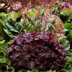 """Heuchera x """"Cajun Fire"""" Thumbnail Best Perennials, Hardy Perennials, Shade Garden, Garden Plants, Garden Beds, Potted Plants, Yucca Filamentosa, Coral Bells Heuchera, Bell Gardens"""