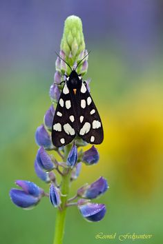 Epicallia villica (Linnaeus, 1758).  The Cream-spot Tiger is a moth of the family Arctiidae. The wingspan of these moths reaches 45–60 mm.