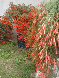 Převislé begonie (Begonia)