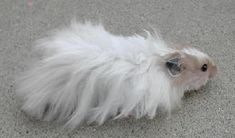 Long Haired Syrian Hamster Male. He could do with a groom!