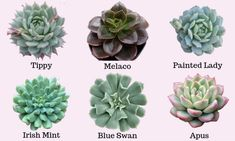 Echeveria types and varieties can sometimes be confused because they are so many. Echeveria types can have some similarities but can also vary significantly Types Of Succulents, Cacti And Succulents, Planting Succulents, Planting Flowers, Growing Flowers, Propagating Succulents, Succulent Gardening, Bonsai Plants, Cactus Plants