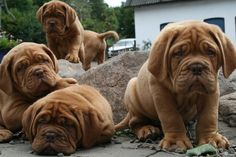 Dogue De Bordeaux / French Mastiff