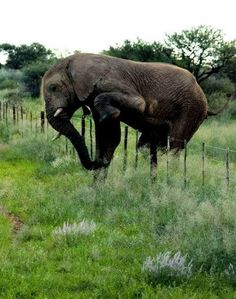 Polite elephant crossed multiple farms on her voyage without damaging a single fence!