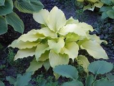 HOSTA \'Dancing Queen\'
