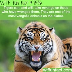 WTF Fun Facts is updated daily with interesting & funny random facts. We post about health, celebs/people, places, animals, history information and much more. New facts all day - every day! Wow Facts, Wtf Fun Facts, Funny Facts, Random Facts, Random Animal Facts, Bizarre Facts, Animal Fun, Crazy Facts, Tiger Facts