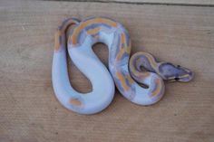 Coral Glow Pied ball python.....so pretty!!!!! So scary!!! Lol!