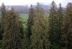 Sitka spruce, Picea sitchensis on Queets River, Olympic National Park - Institute for Redwood Ecology - Humboldt State University