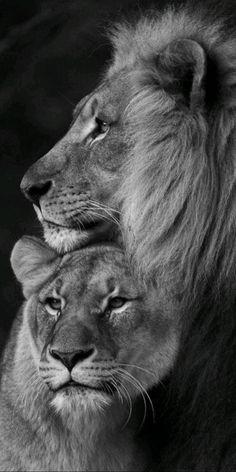 Lion Images, Lion Pictures, Lion Wallpaper, Animal Wallpaper, Majestic Animals, Animals Beautiful, Lion Couple, Lion Photography, Lion Family