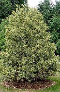 Ilex aquifolium 'Golden King'. Hardy to USDA zone 6.