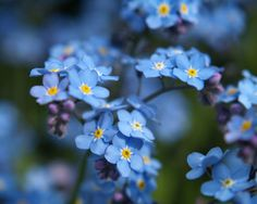 Chinese Forget Me Not Cynoglossum Amabile by FloraExpressionsGJ, $1.49
