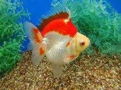 Ryukin Goldfish, Comet Goldfish, Fish Print, Auction Items, Freshwater Fish, Aquariums, Ponds, Aquarium Fish, Marine Life
