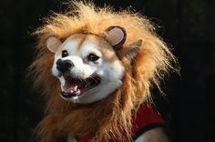 Doggy lion costume.