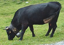 German Herens' cattle are small horned, male and female. They are an ancient cross breed of a type of Swiss cattle. They are used for their meat and their milk. The females are made to fight (as they are well known for their high aggresssion), so the cow fights are a well known tourist attraction. The heavy ball and collar weight the animal down, so they don't have the energy to run off very far-but can defend themselves and their calves, if necessary.
