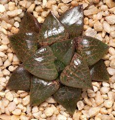 Haworthia comptoniana x (retusa x bayeri) F2