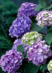 BloomStruck Endless Summer Hydrangea