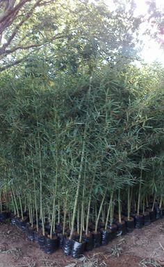 BAMBUS   Bambu Cana da India (Phyllostachys Aurea) - CERCA VIVA PEQUENO PORTE