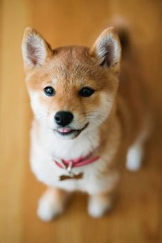 Little Shiba Inu puppy learning how to sit Chien Shiba Inu, Akita Inu Puppy, Shiba Puppy, Puppy Meme, Beautiful Dogs, Animals Beautiful, Cute Puppies, Dogs And Puppies, Corgi Puppies