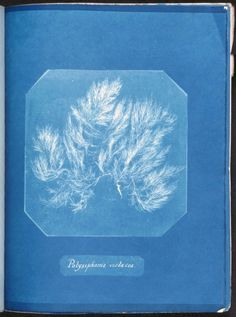 Stunning Cyanotypes of Sea Algae by the Self-Taught Victorian Botanist Anna Atkins, the First Woman Photographer and a Pioneer of Scientific Illustration – Brain Pickings Contemporary Photographers, Female Photographers, Atkins, Monochrome, John Herschel, Cyanotype Process, Hair In The Wind, Image Theme, Anna