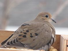 Mourning Dove...