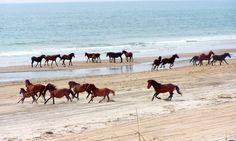 Corolla Wild Horses roam the beach on The Outer Banks, North Carolina USA Outer Banks North Carolina, Outer Banks Nc, Outer Banks Vacation, Vacation Spots, North Carolina Day Trips, Corolla North Carolina, North Carolina Beaches, Carolina Usa, Vacation Places