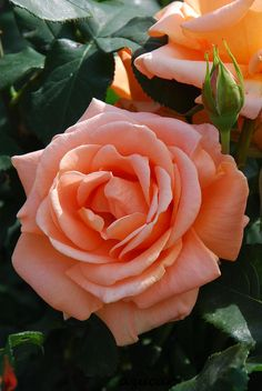 'Yume' | Hybrid Tea Rose | Flickr - © azucargeminis