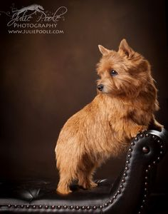 Norwich Terrier...this is the dog we are getting for Heidi this summer! Very excited.