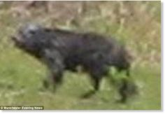 Some say it resembles a prowling hyena, others a ferocious wolf. While there are those who have seen the mysterious creature menacing Buckshaw Village, England and describe it as a terrifying cross between a wild boar and some kind of big cat. Whatever it is, it has been blamed for mauling several deer and one resident's Alsatian dogs were left quivering with fear after a particularly close encounter.