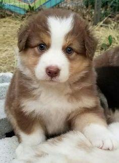 Awe...look at that face. Australian Shepherd pup.
