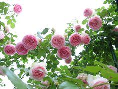 Rosy's Ramblings: Roses