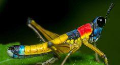 Our photo contributor Juan Manuel Cardona Granda describes this grasshopper as patriotic, because its colors match the Colombian flag.