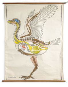 This Wall Chart of a bird was originally published in Germany and is part of the Dr. Lips Plan of the Animal Kingdom range. Illustrated by H. Arches it was used for educational purposes in Germany and the Netherlands but today it has become a piece of art in its own right.