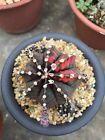 Gymnocalycium Mihanovichii variegata # melocactus astrophytum cactus succulent