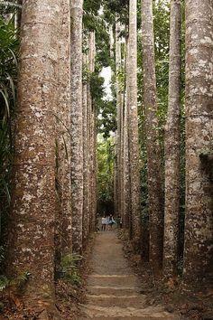 Kauri Pine avenue in Paronella Park is a tourist attraction located 120 kilometers south of Cairns in Queensland, Australia. Brisbane, Perth, Melbourne, Queensland Australia, Western Australia, Australia Travel, Cairns Queensland, Australia Tours, Coast Australia
