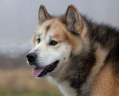 Resultado de imagen para Perro de Groenlandia
