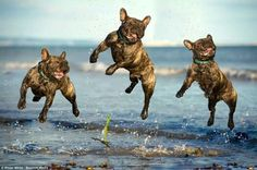 Superbe... J'adore...Trés French Bulldogs at the Beach.